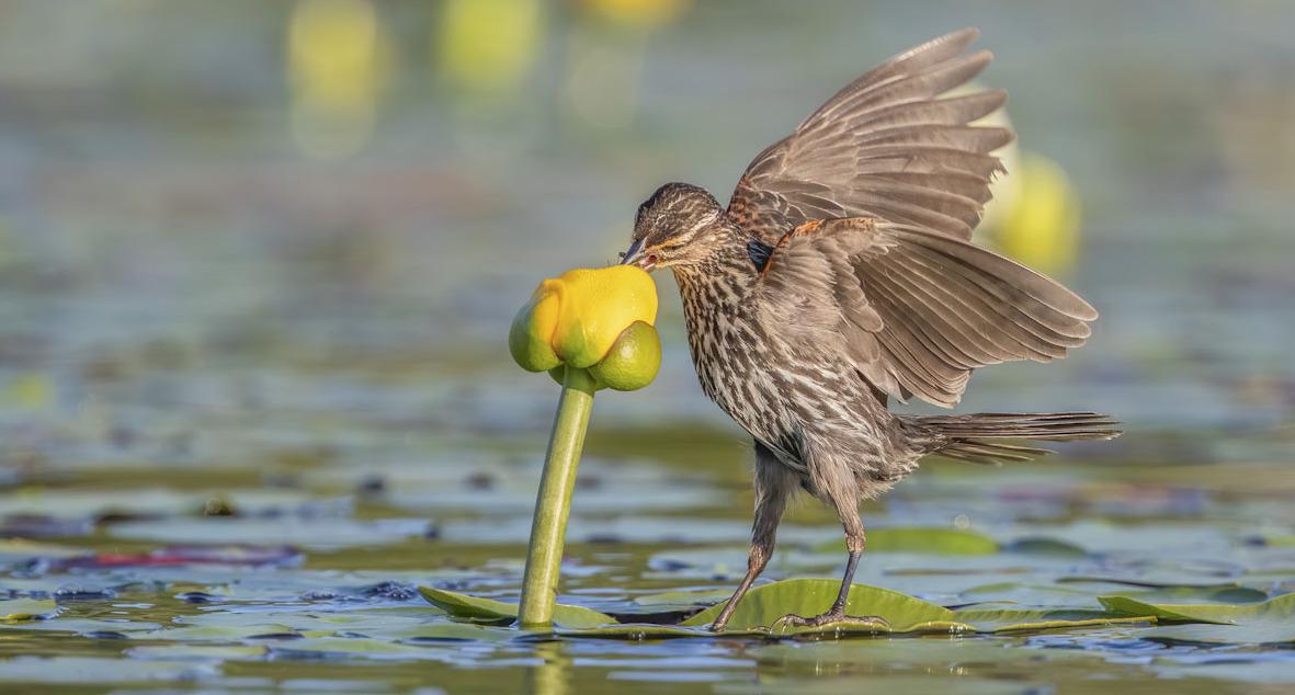 פוטו תחרות צילומי ציפורים Audubon   Red-winged Blackbird and lily pad