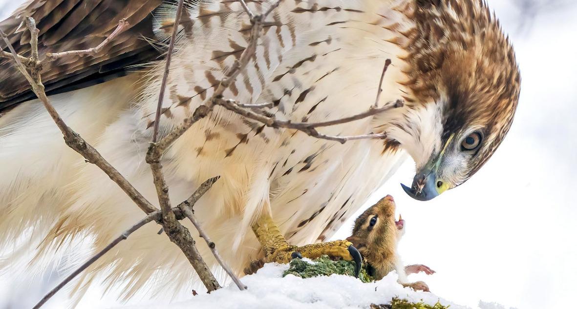 פוטו תחרות צילומי ציפורים Audubon      Red-tailed Hawk