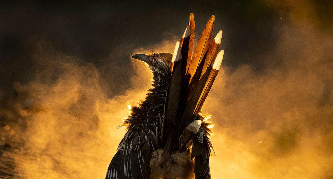 פוטו תחרות צילומי ציפורים Audubon מקום ראשון  קוקייה רצנית