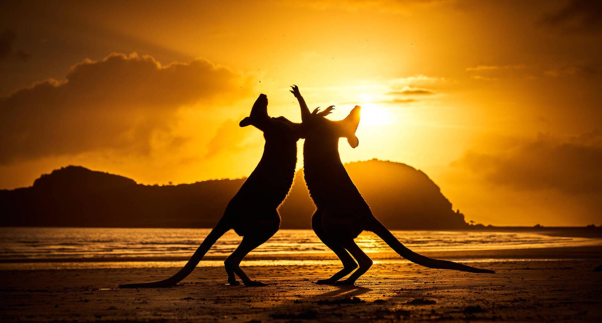 פוטו תחרות צילומי טבע אוסטרליה קנגורו