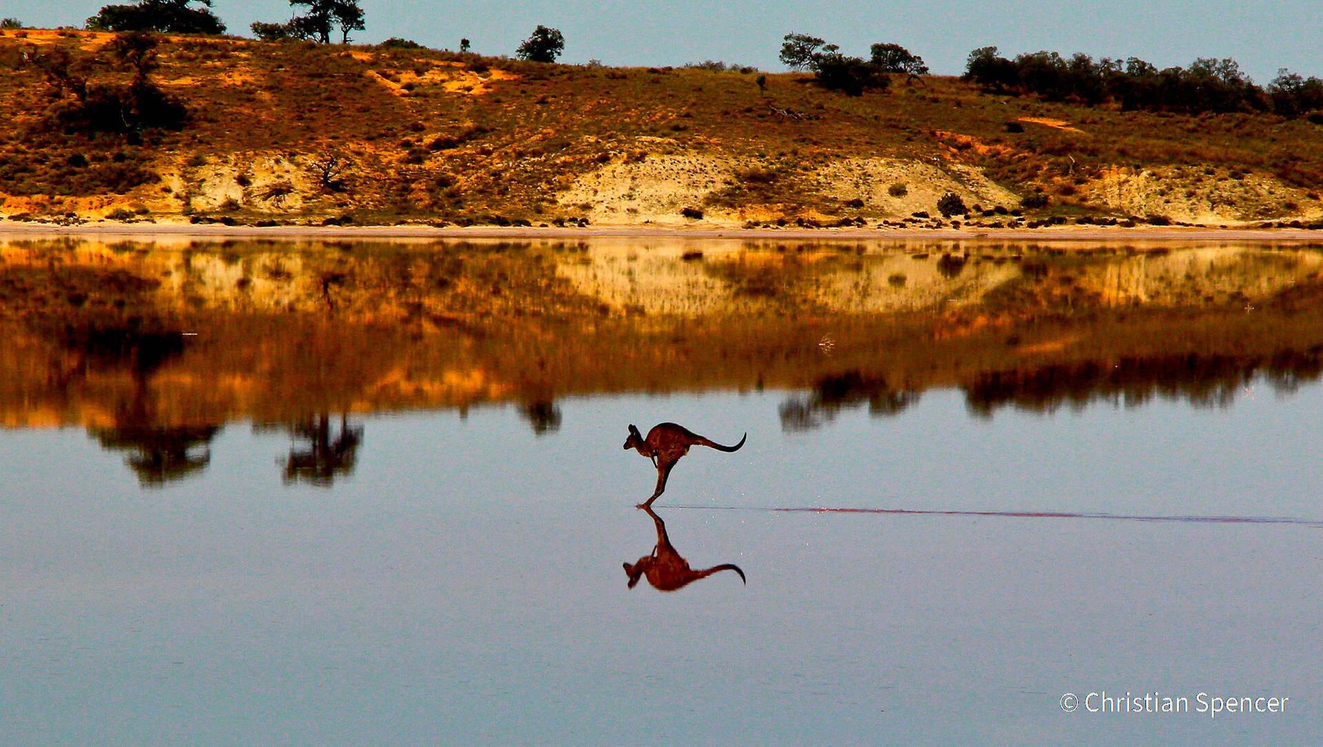 פוטו תחרות צילומי טבע אוסטרליה קנגורו על המים