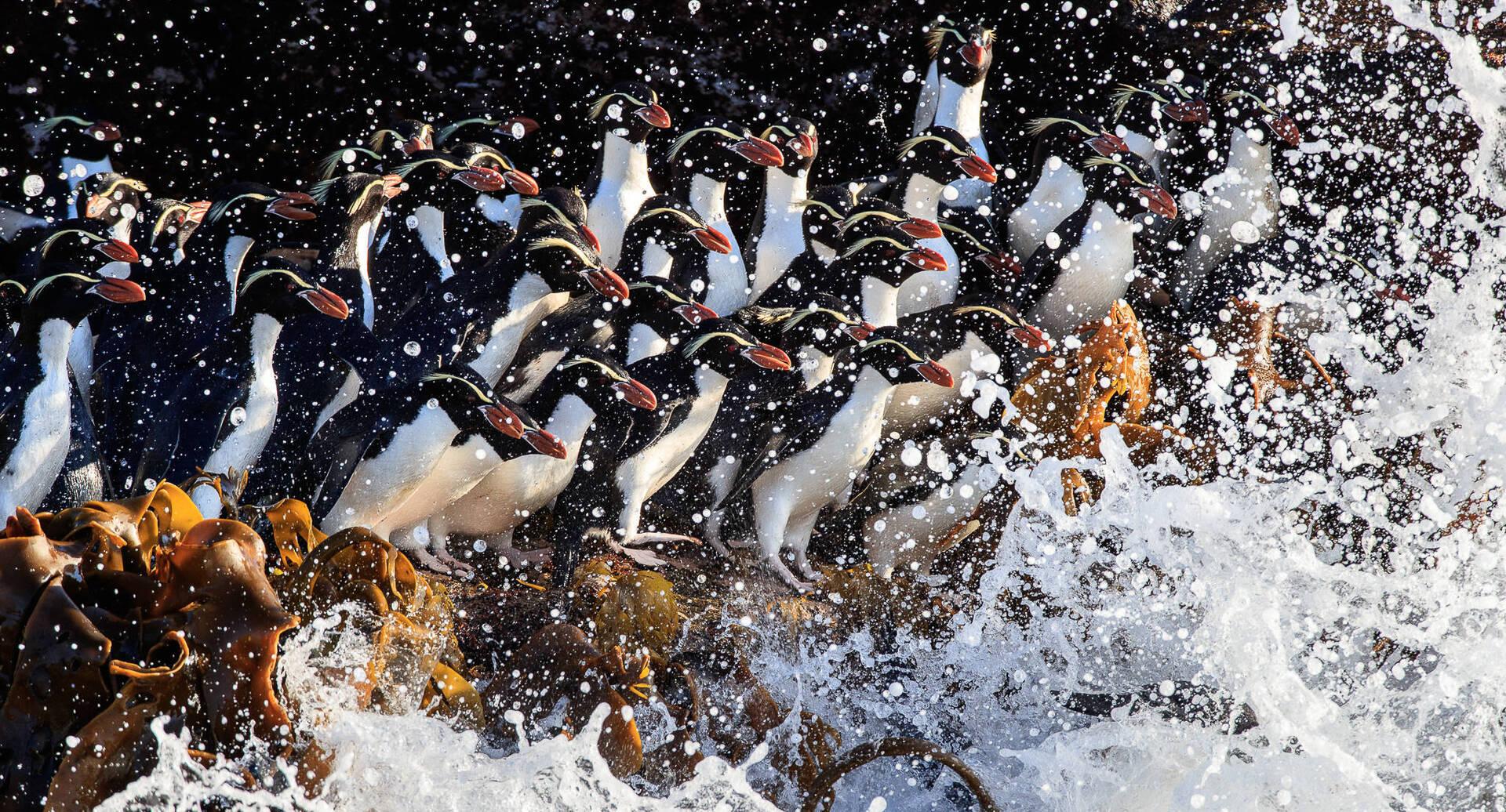 פוטו תחרות צילומי טבע פינגווינים