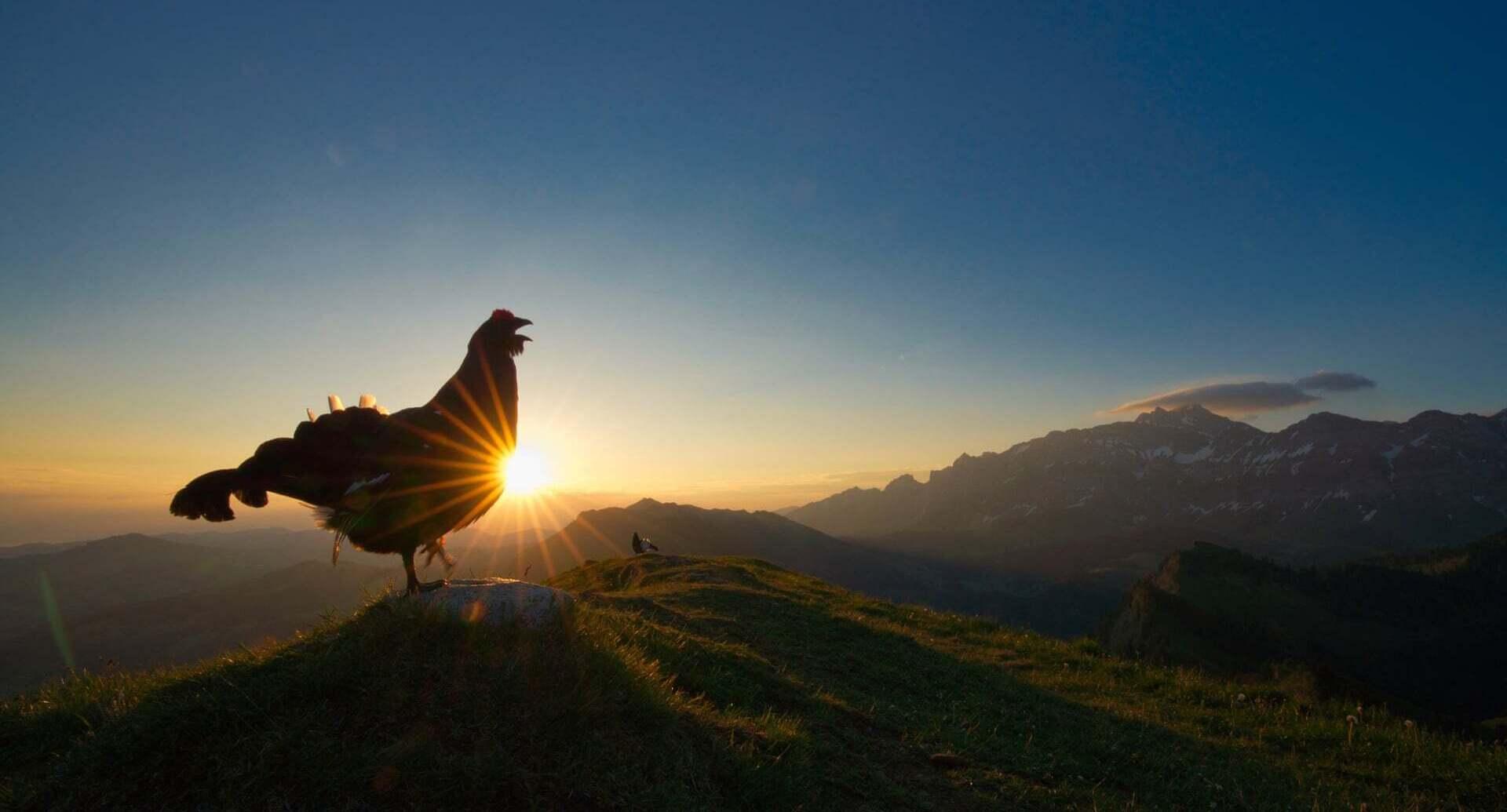 פוטו תחרות צילומי ציפורים 2021 תרנגול