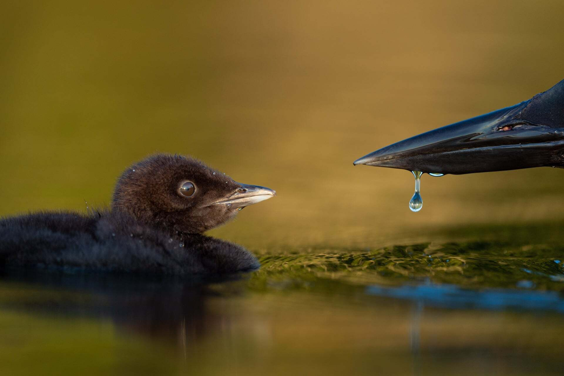 פוטו תחרות צילומי ציפורים 2021 האכלת גוזל
