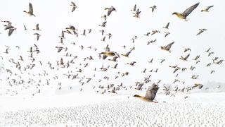 פוטו תחרות צילומים מדאונים מקום ראשון להקת אווזים נורווגיה , צילום: Terje Kolaas