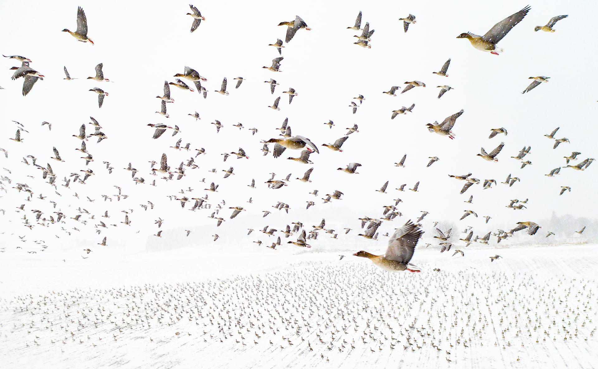 פוטו תחרות צילומים מדאונים מקום ראשון להקת אווזים נורווגיה