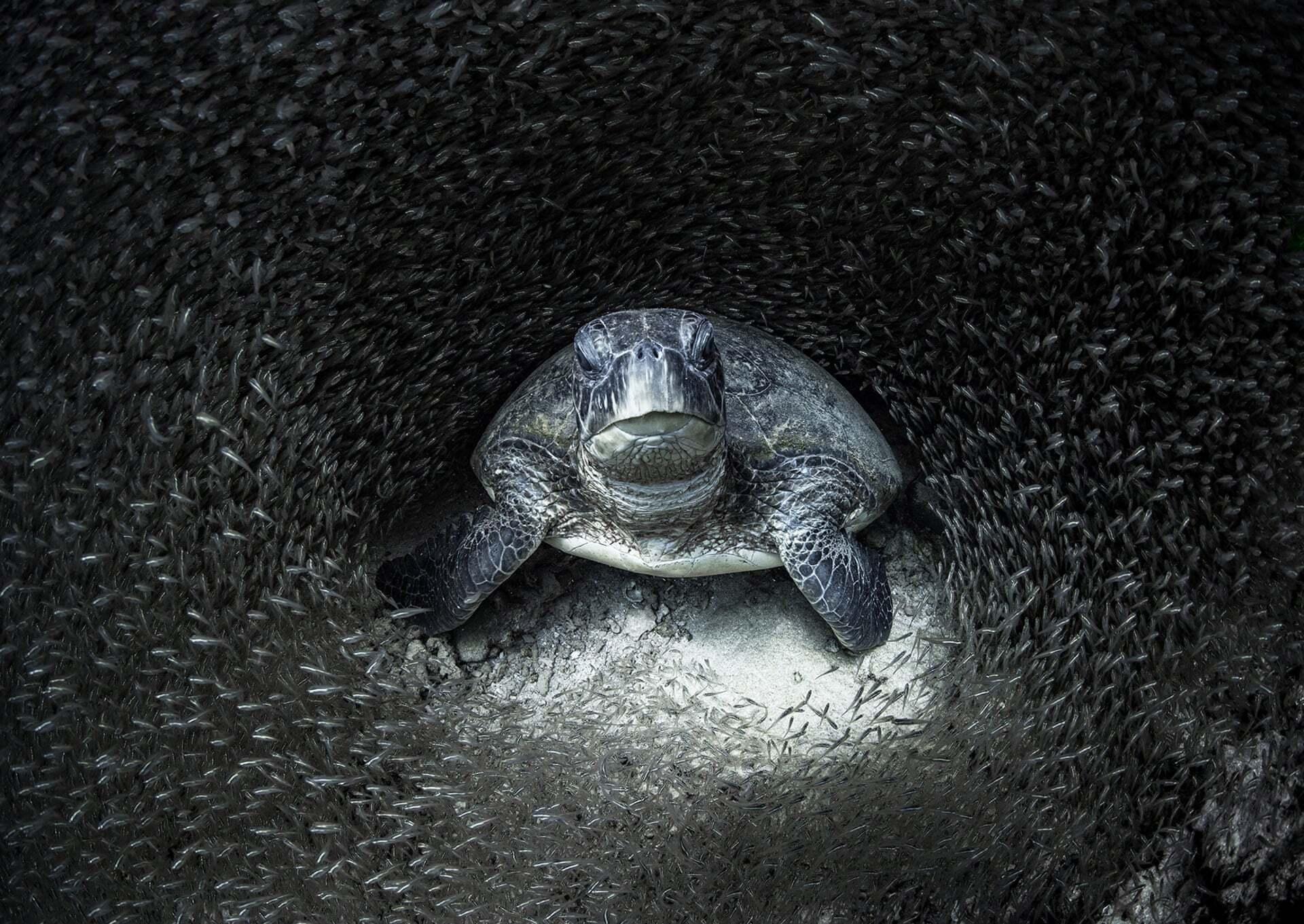 פוטו תחרות צילומים באוקיאנוס 2021 מקום ראשון צב ים מוקף דגים
