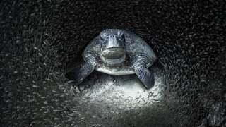 פוטו תחרות צילומים באוקיאנוס 2021 מקום ראשון צב ים מוקף דגים , צילום: Aimee Jan