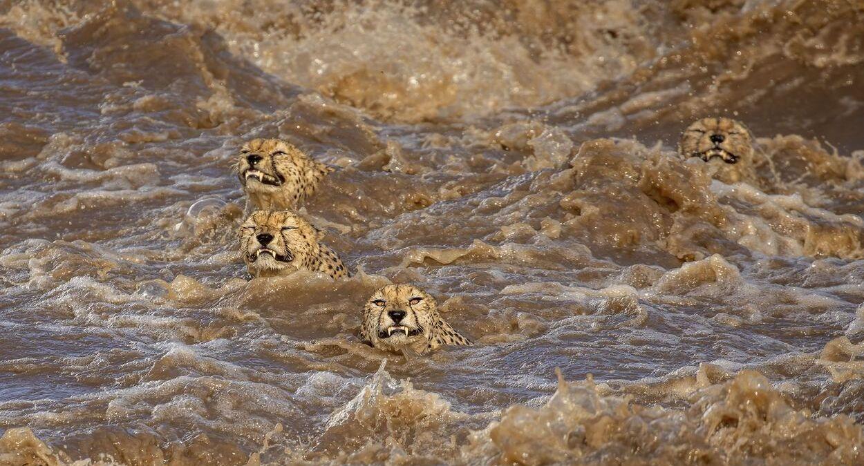 פוטו תחרות צילומי טבע The Nature Conservancy נמרים במים