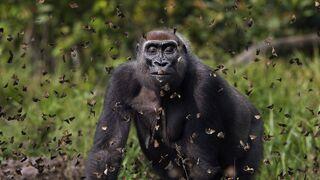 פוטו תחרות צילומי טבע The Nature Conservancy גורילה, צילום: Anup Shah/TNC Photo Contest 2021