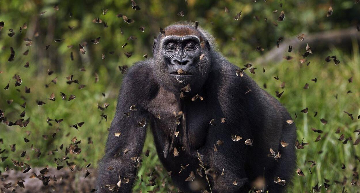 פוטו תחרות צילומי טבע The Nature Conservancy גורילה