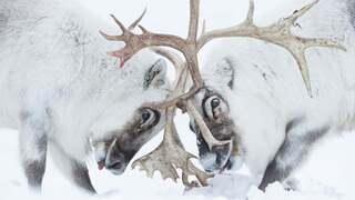 פוטו תחרות צילום חיות בר 2021 איילים, צילום: Stefano Unterthiner