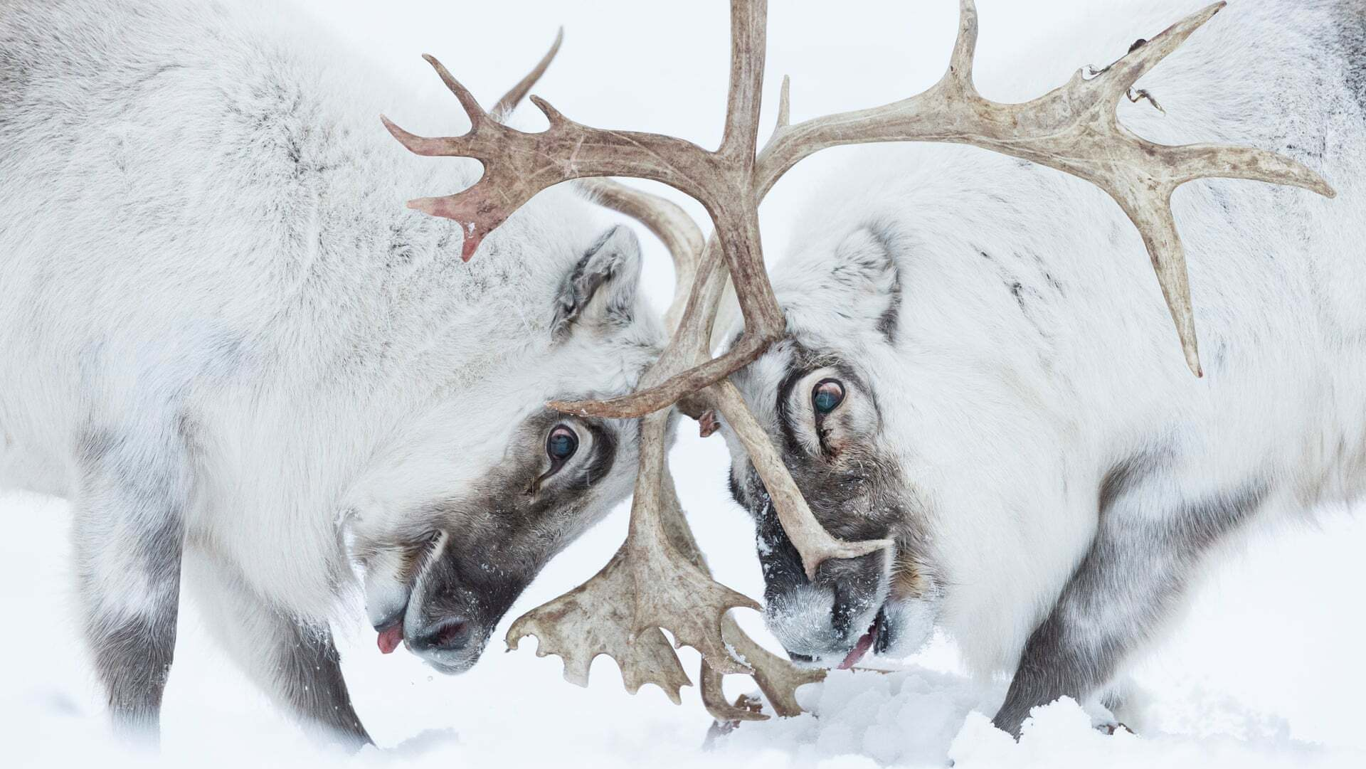פוטו תחרות צילום חיות בר 2021 איילים