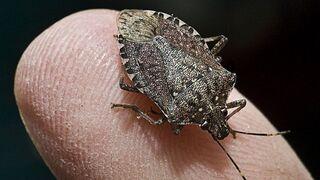 חיפושית מסריחה, צילום: גטי אימג'ס